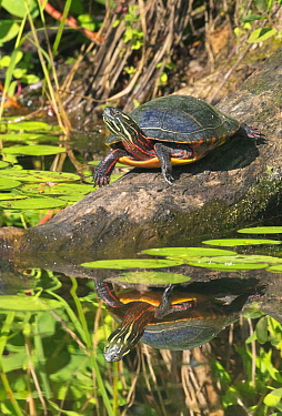 Painted Turtle (Chrysemys picta) basking, Onteora Lake, Catskill Mountains Park and Preserve, New York