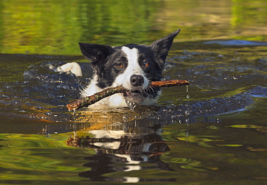 Border Collie (Canis familiaris) retrieving stick, Onteora Lake, Catskill Mountains Park and Preserve, New York