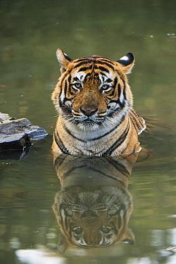 Bengal Tiger (Panthera tigris tigris) male cooling off in waterhole, Ranthambore National Park, India