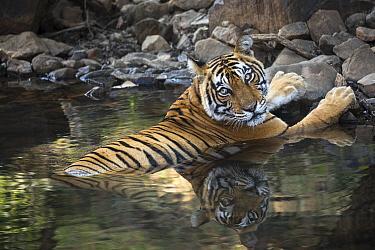 Bengal Tiger (Panthera tigris tigris) female cooling off in waterhole, Ranthambore National Park, India