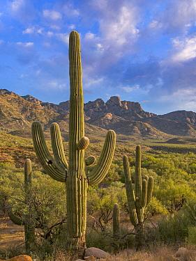 Saguaro (Carnegiea gigantea) cacti, Catalina State Park, Arizona