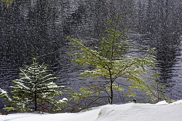 Canadian Hemlock (Tsuga canadensis) and White Spruce (Picea glauca) trees in winter, Nova Scotia, Canada