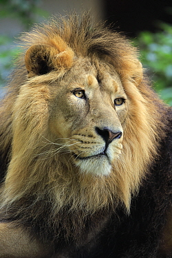 Asiatic Lion (Panthera leo persica) male, native to Asia