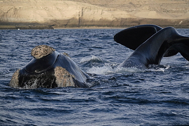 Southern Right Whale (Eubalaena australis) tail slapping, Argentina
