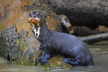 Giant River Otter (Pteronura brasiliensis) juvenile, Pantanal, Brazil
