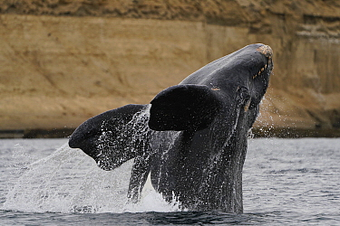 Southern Right Whale (Eubalaena australis) breaching, Argentina