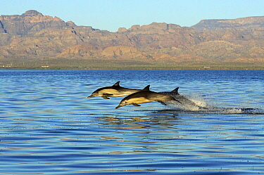 Long-beaked Common Dolphin (Delphinus capensis) trio jumping, Sea of Cortez, Mexico