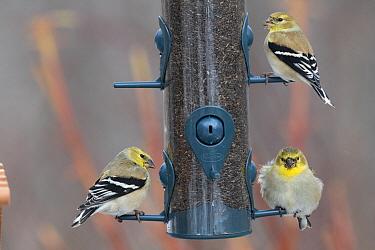 American Goldfinch (Carduelis tristis) trio at bird feeder in winter, Nova Scotia, Canada