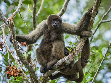 Geoffroy's Woolly Monkey (Lagothrix cana) mother with young, Amazon, Brazil
