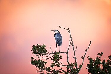 Black-headed Heron (Ardea melanocephala), Western Cape, South Africa