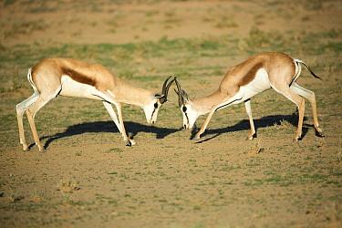 Springbok (Antidorcas marsupialis) males fighting, Kgalagadi Transfrontier Park, South Africa