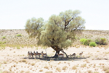 Springbok (Antidorcas marsupialis) herd in shade of Wild Apricot (Dovyalis zeyheri), Kgalagadi Transfrontier Park, South Africa