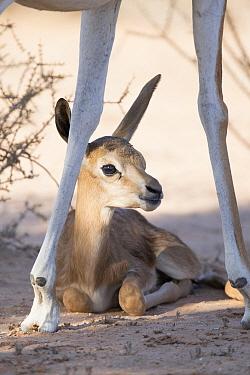 Springbok (Antidorcas marsupialis) calf resting in shade, Kgalagadi Transfrontier Park, South Africa