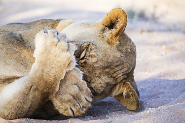 African Lion (Panthera leo) female covering face, Kgalagadi Transfrontier Park, South Africa