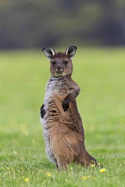 Western Grey Kangaroo (Macropus fuliginosus) ten-month-old joey scratching, Kangaroo Island, Australia
