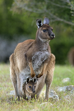 Western Grey Kangaroo (Macropus fuliginosus) mother with eight-month-old joey in pouch, Kangaroo Island, Australia