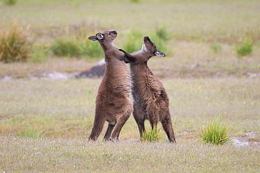 Western Grey Kangaroo (Macropus fuliginosus) males sparring, Kangaroo Island, Australia