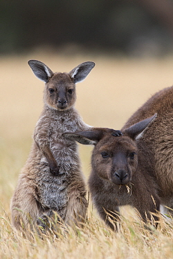 Western Grey Kangaroo (Macropus fuliginosus) nine-month-old joey with mother, Kangaroo Island, Australia