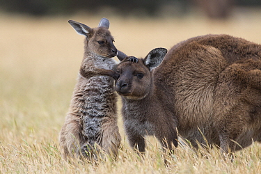 Western Grey Kangaroo (Macropus fuliginosus) nine-month-old joey playing with mother, Kangaroo Island, Australia