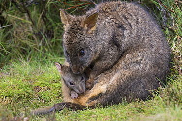 Red-bellied Pademelon (Thylogale billardierii) mother with five-month-old joey, Cradle Mountain-Lake Saint Clair National Park, Tasmania, Australia