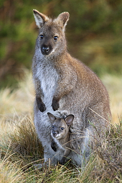 Red-necked Wallaby (Macropus rufogriseus) mother with seven-month-old joey in pouch, Cradle Mountain-Lake Saint Clair National Park, Tasmania, Australia