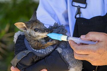 Tammar Wallaby (Macropus eugenii) orphaned joey in manmade pouch bottle-feeding, Kangaroo Island, Australia