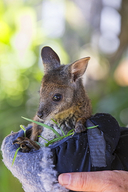 Tammar Wallaby (Macropus eugenii) orphaned joey in manmade pouch feeding, Kangaroo Island, Australia