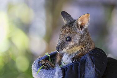 Tammar Wallaby (Macropus eugenii) orphaned joey in manmade pouch, Kangaroo Island, Australia