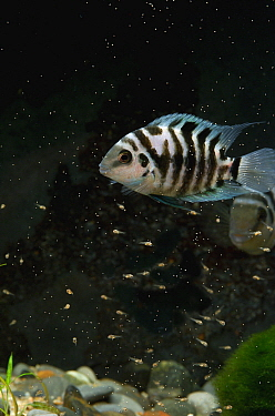 Panama Convict Cichlid (Amatitlania kanna) female guarding fry, native to Central America