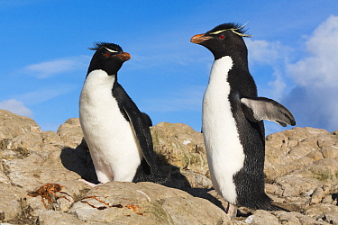 Rockhopper Penguin (Eudyptes chrysocome) pair, Pebble Island, Falkland Islands