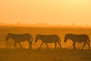 Zebra (Equus quagga) trio at sunset, Amboseli National Park, Kenya