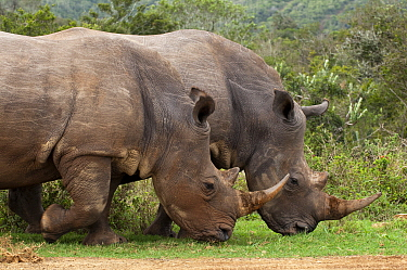 White Rhinoceros (Ceratotherium simum) pair grazing, Kariega Game Reserve, South Africa