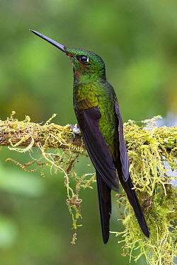 Empress Brilliant (Heliodoxa imperatrix) hummingbird, Andes, Ecuador