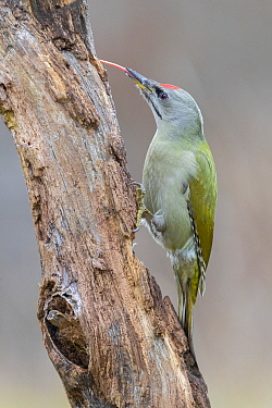 Grey-headed Woodpecker (Picus canus) male foraging, Poland
