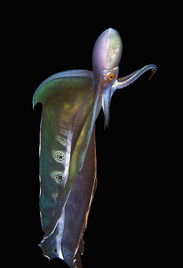 Blanket Octopus (Tremoctopus sp), first ever photographs, Palm Beach, Florida