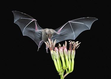 Southern Long-nosed Bat (Leptonycteris curasoae) feeding on flower nectar, Amado, Arizona