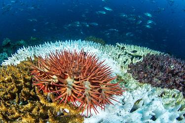 Stony Coral (Acropora sp) on bleached Stony Coral (Acropora sp), Djibouti