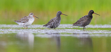 Spotted Redshank (Tringa erythropus) trio in different molts, Campania, Italy