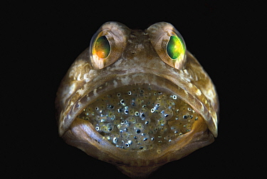Dusky Jawfish (Opistognathus whitehursti) brooding eggs in mouth, Riviera Beach, Florida