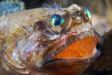 Mottled Jawfish (Opistognathus maxillosus) brooding eggs in mouth, face covered with bristles from a fire worm, Riviera Beach, Florida