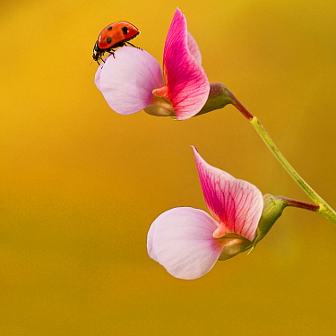 Seven-spotted Ladybird (Coccinella septempunctata), Gran Canaria, Spain