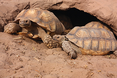 African Spurred Tortoise (Geochelone sulcata) pair at burrow entrance, Senegal