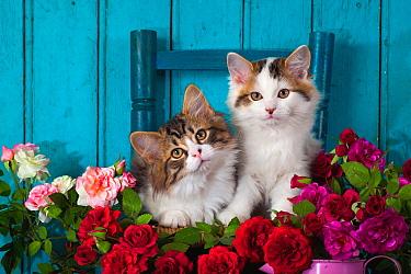 Domestic Cat (Felis catus) kittens amid flowers