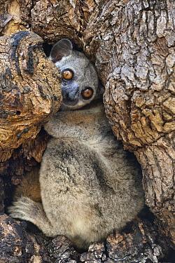 Red-tailed Sportive Lemur (Lepilemur ruficaudatus) in tree cavity, Kirindy Forest, Madagascar