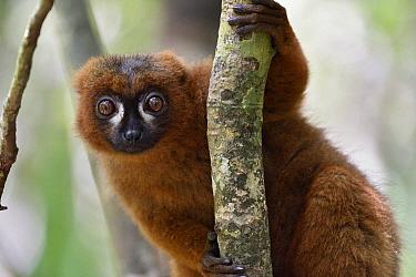 Red-bellied Lemur (Eulemur rubriventer) male, Pangalanes Canal, Madagascar