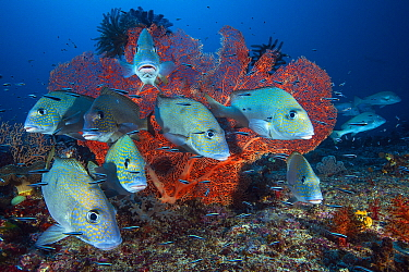 Painted Sweetlips (Diagramma pictum) school, Raja Ampat, Indonesia