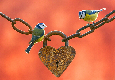 Blue Tit (Cyanistes caeruleus) pair on fence with heart, Europe