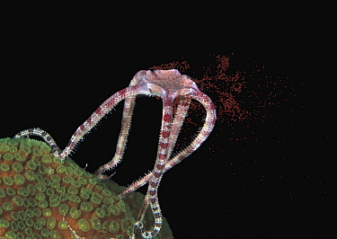 Ruby Brittlestar (Ophioderma rubicundum) releasing eggs during spawning, Bonaire, Dutch Antilles, Caribbean