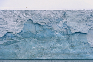 Polar Bear (Ursus maritimus) on glacier, Franz Josef Land, Russia