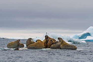 Walrus (Odobenus rosmarus) group hauled out on ice floe, Franz Josef Land, Russia